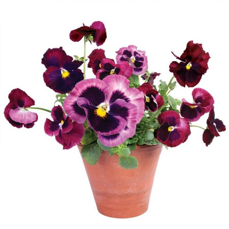 Flat Flower - pink Pansies